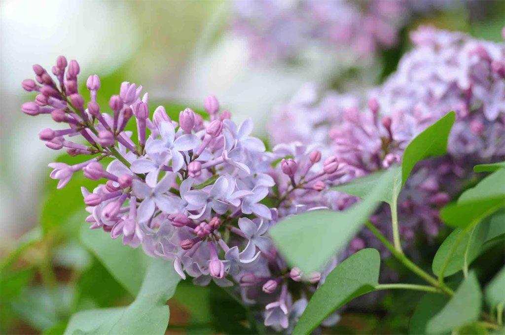 02 lilac