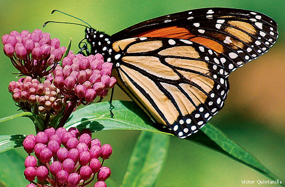 Monarch butterfly feeding on milkweed plant.
